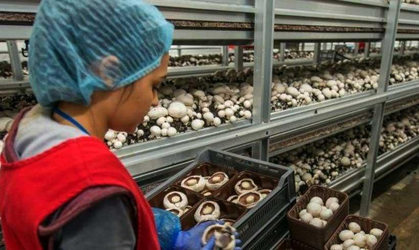 قفسه بندی سالن تولید قارچ